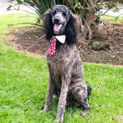 Koko canine pet therapist